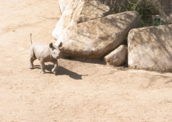 Rhino_running